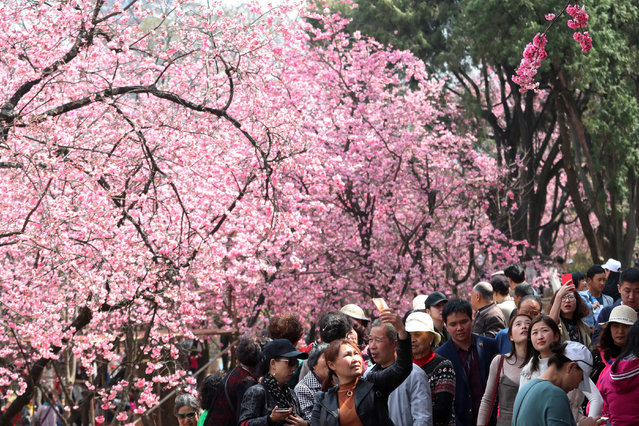 People walk under cherry blossoms in Kunming, Yunnan province, China March 7, 2018. (Photo by Reuters/China Stringer Network)