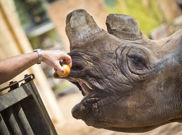 Black rhino Tororo gets an apple from her keeper on April 18, 2013 at the Zoo in Frankfurt am Main, western Germany. (Photo by Frank Rumpenhorst)