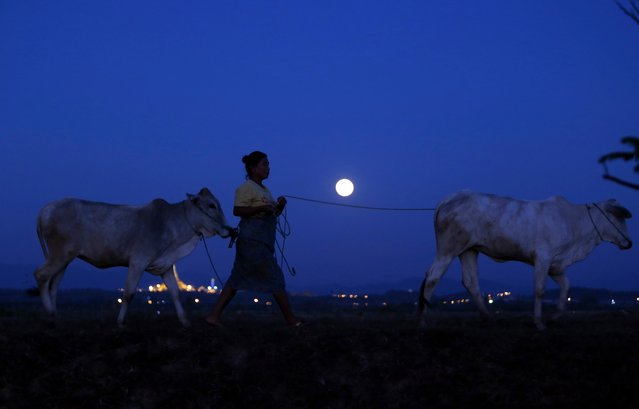 The supermoon is seen in the sky while a farmer walks with cows in Naypyitaw, Myanmar, Sunday, December 3, 2017. The Dec. 3 full moon will be the first of three consecutive supermoons. The two will occur on Jan. 1 and Jan. 31, 2018. (Photo by Aung Shine Oo/AP Photo)