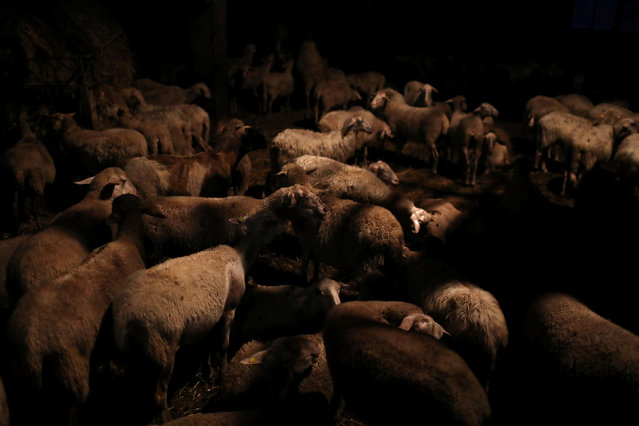 Sheep spend the night inside a cheese and wool making farm belonging to Giulio Petronio, on the outskirts of the town of Castel del Monte, in the province of L'Aquila in Abruzzo, inside the national park of the Gran Sasso e Monti della Laga, Italy, September 13, 2016. (Photo by Siegfried Modola/Reuters)
