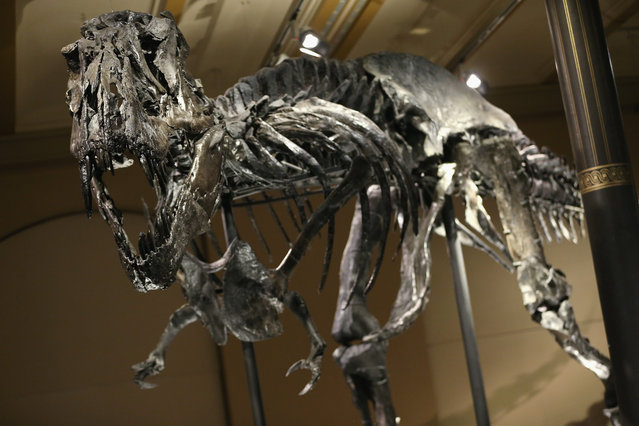 The skeleton of Tristan the Tyrannosaurus Rex stands on display on the first day Tristan was exhibited to the public at the Museum fuer Naturkunde (Natural History Museum) on December 17, 2015 in Berlin, Germany. The skeleton, unearthed in the U.S. state of Montana in 2012, is among the best-preserved large dinosaur skeletons ever found. Tristan is approximately 66 million years old, is 12 meters long and is the first complete Tyrannosaurus Rex to ever be displayed in Europe. Tristan will be on exhibition at the Berlin natural history museum for the next three years. (Photo by Sean Gallup/Getty Images)