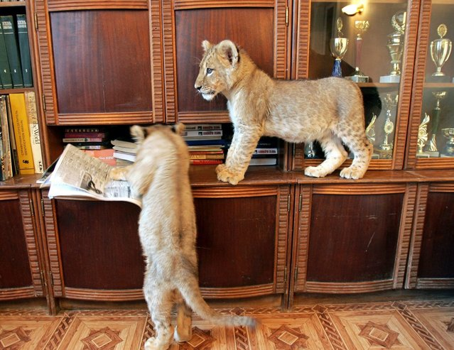 Two lion cubs play on top of furniture in a domestic house in Kharkov some 279.4 miles northeast of Kiev December 15, 2005. The three-months old lions live in the house of Tatyana Efremova, a veterinarian in Kharkov, who also keeps a number of other exotic animals. (Photo by Gleb Garanich/Reuters)
