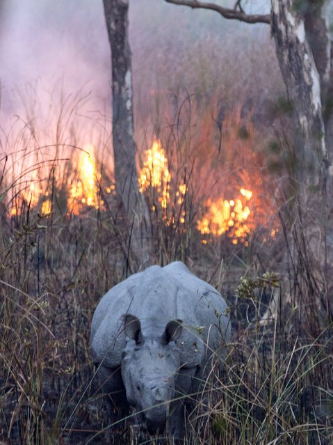 A one-horned rhinoceros is pictured as a controlled burn of grassland is seen at Kaziranga National Park in India's northeastern Assam state on February 8, 2015. (Photo by AFP Photo/Stringer)