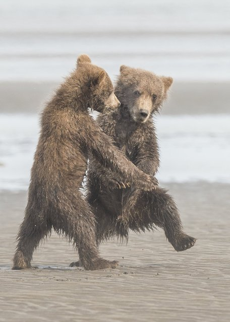 Two grizzly bear cubs appear to dance, September 2018. (Photo by Michael Watts/Barcroft Images/Comedy Wildlife Photography Awards)