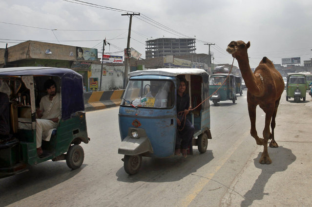 A Pakistani customer in a tuk-tuk leads a camel he bought for the upcoming Muslim Eid al-Adha holiday, in Peshawar, Pakistan, Wednesday, August 15, 2018. Eid al-Adha, or Feast of Sacrifice, Islam's most important holiday marks the willingness of the Prophet Ibrahim (Abraham to Christians and Jews) to sacrifice his son. (Photo by Muhammad Sajjad/AP Photo)