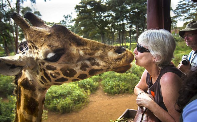 A giraffe eats a food pellet from the mouth of a foreign visitor at the Giraffe Center in Nairobi, Kenya, on September 30, 2013. (Photo by Ben Curtis/Associated Press)