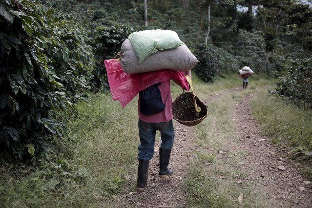 Coffee pickers carry sacks of coffee cherries at a plantation in the Nogales farm in Jinotega, Nicaragua January 7, 2016. (Photo by Oswaldo Rivas/Reuters)