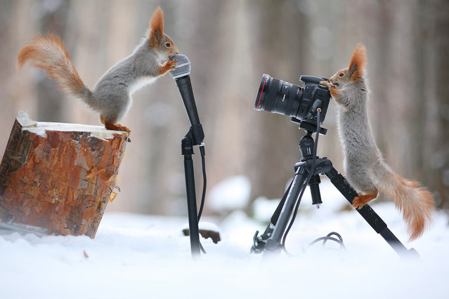 These two red squirrels are going nuts for a game of chess – as they compete in a serious tournament in the snow.  Standing up on their back feet with front paws perching on the board, the two bushy-tailed creatures look deep in concentration. They move the chess pieces around with their noses, until one squirrel loses the game and a Jay bird takes its place. Photographer Vadim Trunov captured these endearing photographs in snowy woodlands located in the Voronezh region of Russia. (Photo by Vadim Trunov/Solent News)