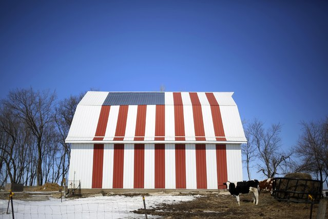 A cow stands in front of barn painted with a U.S. flag in Homestead, Iowa, March 7, 2015. (Photo by Jim Young/Reuters)