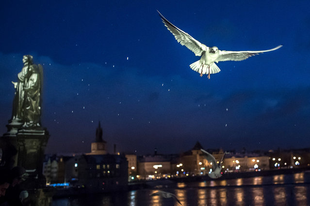 A gull flies over the Charles Bridge over the Vltava river in Prague, Czech Republic, 03 January 2019. Meteorologist predict the cloudy weather with sleet in the next days in Czech Republic. (Photo by Martin Divisek/EPA/EFE)