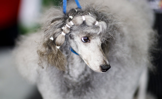 A Standard Poodle is groomed during the 2019 Westminster Kennel Club Dog Show in New York, New York, USA, 11 February 2019. (Photo by Justin LaneJustin Lane/EPA/EFE)