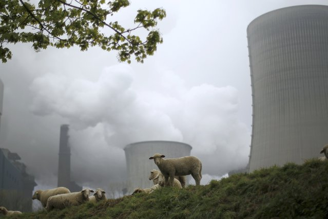 Sheep graze in front of the coal power plant of German utility RWE Power near the western town of Niederaussem April 22, 2015. RWE (a German electric utilities company based in Essen, North Rhine-Westphalia) will hold its annual shareholders meeting in Essen tomorrow. (Photo by Ina Fassbender/Reuters)