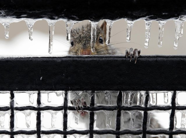 A squirrel peers through icicles Wednesday, February 5, 2014, in Trenton, N.J. Temperatures around most of New Jersey are rising and the freezing rain that snarled much of the morning rush is ending. (Photo by Mel Evans/AP Photo)