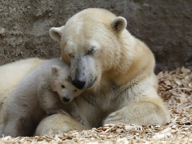A polar bear cub plays next to its mother Giovanna outside in their enclosure at Tierpark Hellabrunn in Munich, March 19, 2014. Twin 14 week-old polar bear cubs, who have yet to be named, made their first public appearance on Wednesday. (Photo by Michael Dalder/Reuters)