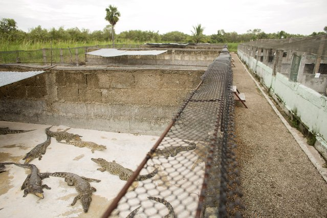 Crocodiles (Crocodylus rhombifer) lie in a hatchery at Zapata Swamp National Park, June 4, 2015. Ten baby crocodiles have been delivered to a Cuban hatchery in hopes of strengthening the species and extending the bloodlines of a pair of Cuban crocodiles that former President Fidel Castro had given to a Soviet cosmonaut as a gift in the 1970s. Picture taken June 4, 2015. REUTERS/Alexandre Meneghini