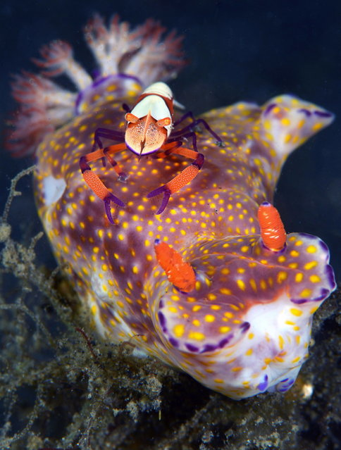2014 Underwater Photography Photo Contest winners, Macro Nudibranchia category, 1st place. (Photo by Marchione Giacomo/UnderwaterPhotography.com)