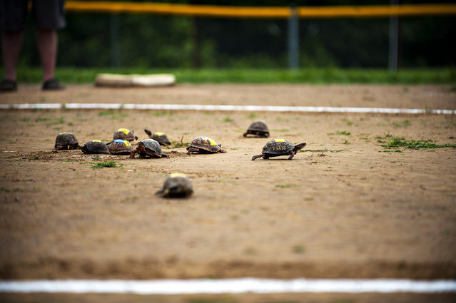 Turtles take off from the center starting place as they walk to the edge of the circle to win the Terrapin Race heat Saturday, July 4, 2015, at the 35th annual Green River Catfish Festival in Morgantown, Ky. (Photo by Miranda Pederson/Daily News via AP Photo)