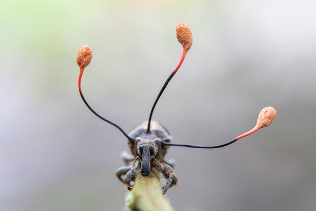 This bizarre-looking weevil is dead and the three antennae-like projections growing out of its thorax are the ripe fruiting bodies of a 'zombie fungus'. Spreading inside the weevil while it was alive, the parasitic fungus had taken control of its muscles and compelled it to climb. When it was at a suitable height – for the fungus – the weevil held fast to the stem. By the next day, the spores had been released and the fungus had withered, its mission accomplished. (Plants and fungi category). (Photo by Frank Deschandol)