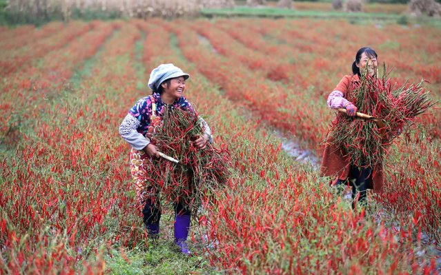 Farmers harvest red peppers in the field in Qujing city, south-west China's Yunnan province on October 26, 2019. (Photo by Chen Fei/Imaginechina/Sipa USA)