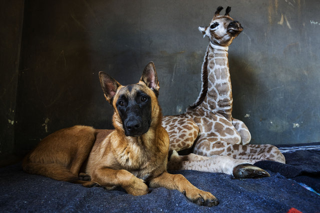 Hunter, a young Belgian Malinois, keeps an eye on Jazz, a nine-day-old giraffe, at the Rhino orphanage in the Limpopo province of South Africa, Friday November 22 2019. Jazz, who was brought in after being abandoned by her mother at birth, is being taken care of and fed at the orphanage some three hours North of Johannesburg, and has been befriended by Hunter and its sibling Duke. (Photo by Jerome Delay/AP Photo)