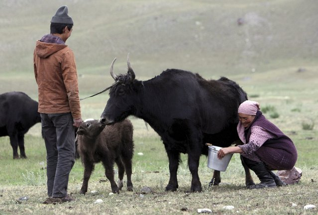 A woman milks a female yak as its calf stands nearby at a cattle camp near the settlement of Sary Mogol in the Alaisky district of the Osh region, Kyrgyzstan, July 24, 2015. Female yaks give milk only if their calves are nearby, according to local residents. (Photo by Vladimir Pirogov/Reuters)