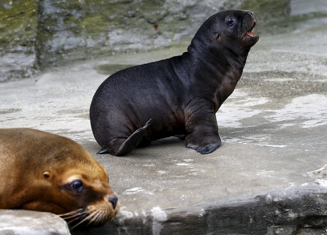 "A ten days old South American sea lion pup sits next to its mother Lunita at the ""Tiergarten Schoenbrunn"" Zoo in Vienna, Austria, July 28, 2015. (Photo by Leonhard Foeger/Reuters)"