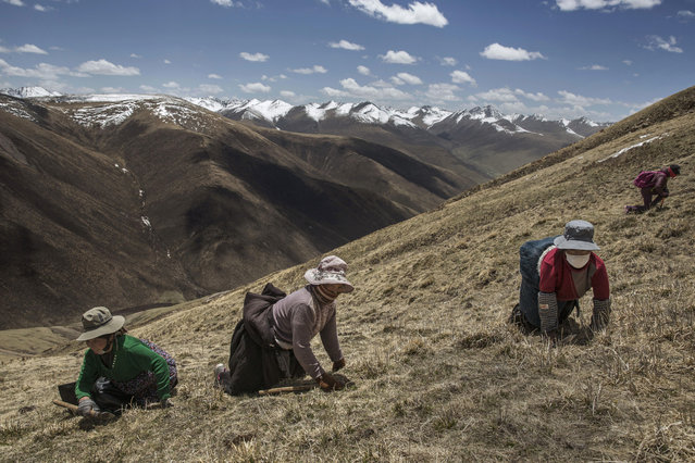 Tibetan nomads crawl on their knees on a hillsode at high altitude as they harvest cordycep fungus on May 19, 2016 near Yushu on the Tibetan Plateau in the Yushu Tibetan Autonomous Prefecture of Qinghai province. (Photo by Kevin Frayer/Getty Images)
