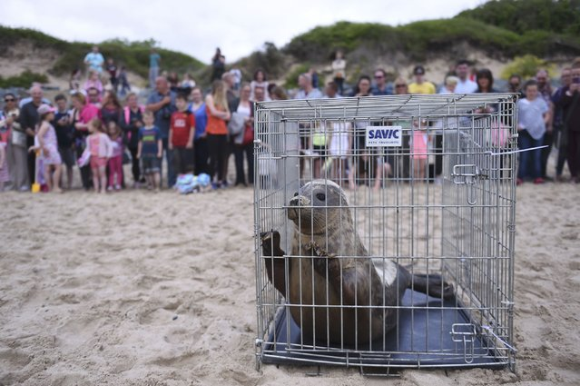 A Common seal named Groot is placed on Courtown beach in preparation to be released from Seal Rescue Ireland wildlife sanctuary where two rescued and rehabilitated seals are released back into the sea after months of care in Wexford, Ireland, June 12, 2016. (Photo by Clodagh Kilcoyne/Reuters)