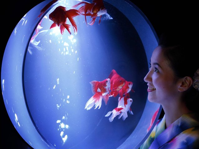 """A young Japanese woman dressed in yukata looks at goldfish swimming in a fish tank as she poses during a press preview of the """"Art Aquarium"""" exhibition as part of the """"Eco Edo Nihonbashi 2014"""" summer event at Nihonbashi Mitsui Hall in Tokyo, Japan, 10 July 2014. Some 5,000 goldfish are on display with the various latest techniques at the art exhibition, which will be opened to the public between 11 July to 23 September. (Photo by Kiyoshi Ota/EPA)"""
