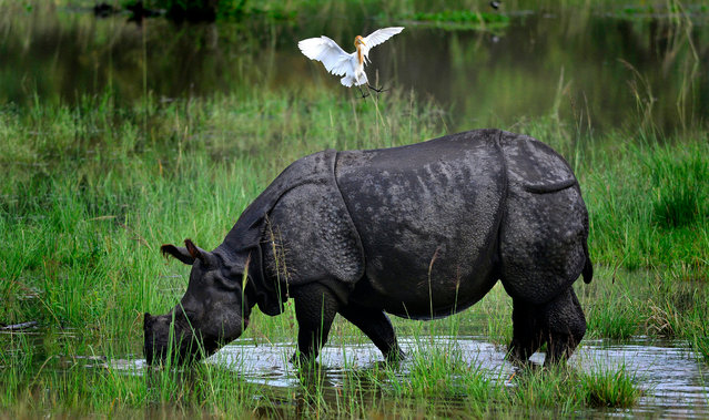 A one horned Rhino grazes in flood water inside the Pobitora wildlife sanctuary in the flood affected Morigaon district of Assam state, India, 07 July 2016. Continuous rain over the past days has inundated six district of Assam. (Photo by EPA/Stringer)