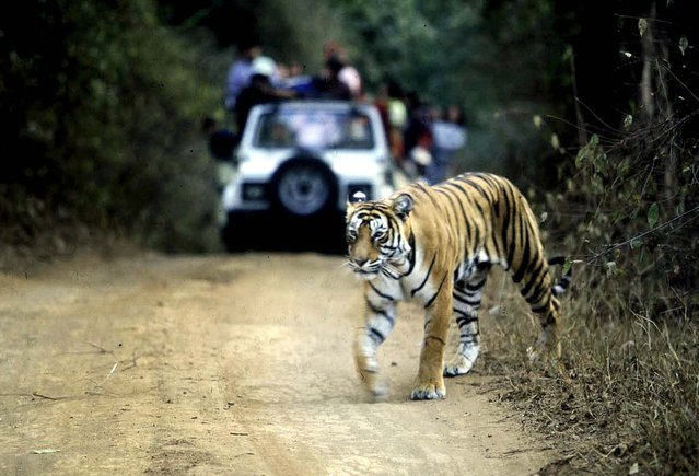 File picture taken on January 22, 2002 shows a tiger crossing a road in the Ranthambore National Park in India's northwestern Rajasthan state.  India's top court has suspended tourism in core areas of tiger reserves as the country struggles to stem the dwindling numbers of the endangered wild cats, a lawyer said July 25, 2012. (Photo by Photoaditya Singh/AFP)