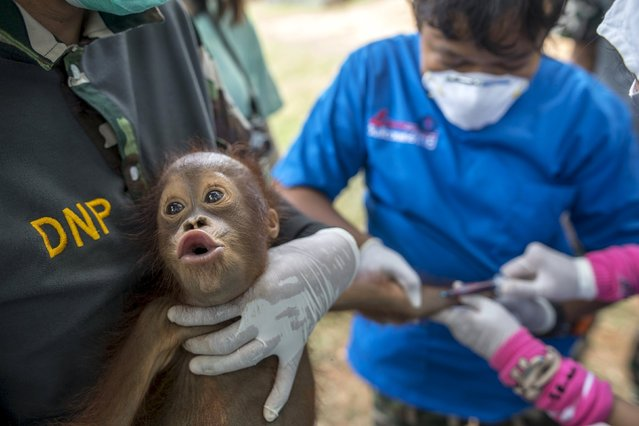 A two-year-old orangutan reacts as Thai veterinarians collect blood sample during a health examination at Kao Pratubchang Conservation Centre in Ratchaburi, Thailand, August 27, 2015. (Photo by Athit Perawongmetha/Reuters)