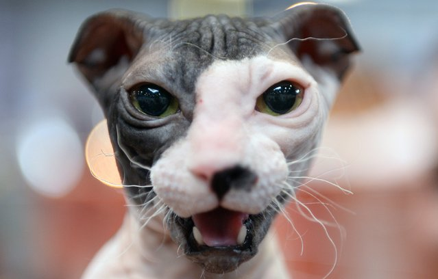 """A Ukrainian Levkoy cat looks at the camera during a diving competition at the """"Hund und Katz"""" (Dog and Cat) trade show in Leipzig, Germany, 24 August 2014. The competition is one of the highlights of the exhibition. More than 5,000 pedigree dogs from 15 nations and about 300 cats are presented during the trade fair. (Photo by Hendrik Schmidt/EPA)"""