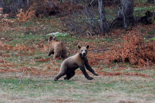 Brown bear cubs Bradley and Cooper are released into the forest from the NGO Arcturos' bear sanctuary in the village of Nymfaio, near Florina, Greece on May 2, 2020. (Photo by Giorgos Moutafis/Reuters)