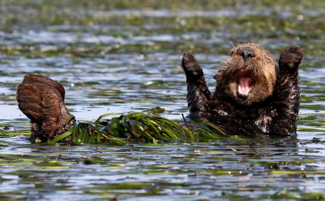 A sea otter pictured cheering after sleep in early morning in Elkhorn Slough, California. (Photo by Penny Palmer/Comedy Wildlife Photography Awards/Barcroft Media)