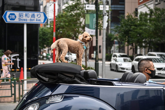 A dog looks on while riding in a convertible-top car in Tokyo on July 24, 2020. (Photo by Charly Triballeau/AFP Photo)