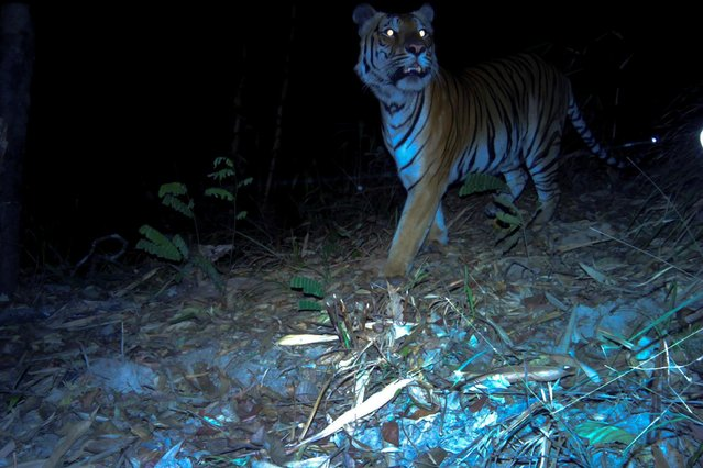 A tiger is pictured from a camera trap from the western forest of Thailand, in this undated photo obtained on July 28, 2020. (Photo by DNP-Panthera-ZSL-USFWS-AsECF-RCU Handout via Reuters)