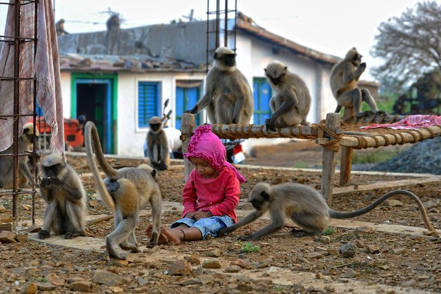 In this photograph taken on December 8, 2017, Indian child Samarth Bangari, 2, plays with langur monkeys at his home in Allapur in India' s southwest Karnataka state. (Photo by Manjunath Kiran/AFP Photo)