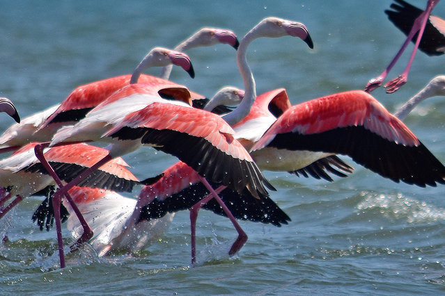 Flocks of immigrant flamingo birds are seen the waters of Nea Kios, in Naflio, Greece, 14 September 2016. Flamingos arrived at wetland of Nea Kios, for a few days of rest, during their long journey of the autumn migration to warmer places. (Photo by Bougiotis Vangelis/EPA)
