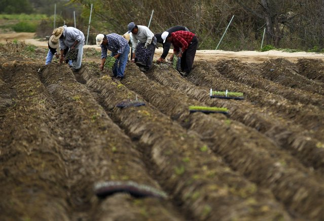 Vegetable seedlings are planted on the Chino family farm in Rancho Santa Fe, California March 4, 2013. (Photo by Mike Blake/Reuters)