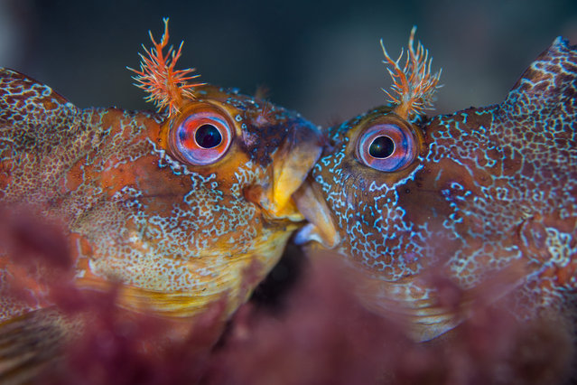 """British waters macro category - winner. """"Battle of the Tompots"""" by Henley Spiers (UK). Location: Swanage Pier, Swanage, Dorset. These two tompot blennies are not kissing but engaged in a ferocious battle over mating rights. As one judge pointed out: """"Who says British fish lack colour and character? This shot has got it right in all the right places. Sharp when needed and blurred when not"""". (Photo by Henley Spiers/UPY 2018)"""