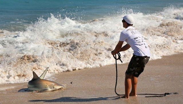 Josh Jorgensen hauls ashore a blacktip shark. (Photo by Lannis Waters/Palm Beach Daily News)