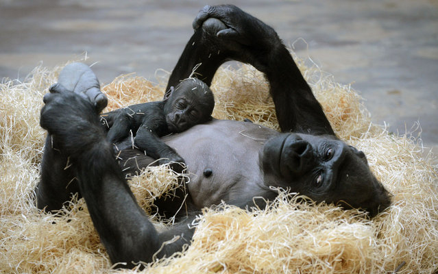 Kijivu, a western lowland gorilla, holds her three months old baby as they rest at the Zoo in Prague, March 15, 2013. (Photo by Michal Cizek/AFP Photo)