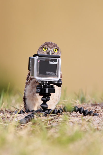 Wide-Eyed Burrowing Owlet posing for selfies in front of a GoPro in Florida, May, 2015. (Photo by Megan Lorenz/Barcroft Images/Comedy Wildlife Photography Awards 2016)