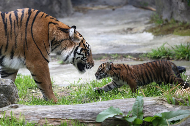 A two-month-old Sumatran tiger cub plays with its mother, Leanne, in their enclosure at the San Francisco Zoo on April 13, 2013 in San Francisco, California. The san Francisco Zoo introduced a two-month-old Sumatran tiger cub to the public for the first time since it was born. (Photo by Justin Sullivan)