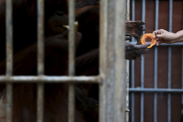 A Thailand wildlife officer hands a fruit to orangutans during preparations for the apes' repatriation to Indonesia at Kao Pratubchang Conservation Centre in Ratchaburi, Thailand, November 11, 2015. (Photo by Athit Perawongmetha/Reuters)