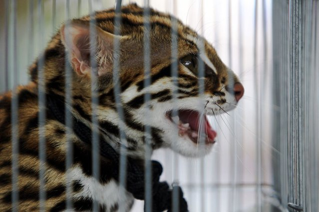 A wild animal looks on from inside a cage during a police raid on the outskirts of Bangkok June 10, 2013. (Photo by Chaiwat Subprasom/Reuters)