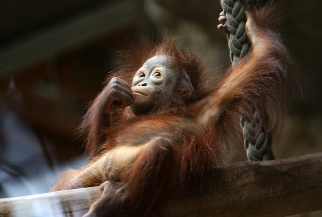 Female orangutan baby, Surya, rests  in the enclosure in the zoo in Rostock, northeastern Germany, Wednesday, January 28, 2015. (Photo by Bernd Wuestneck/AP Photo/DPA)