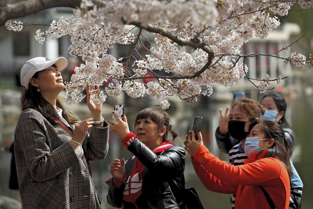 Visitors, some wearing face masks, take smartphone photos of their friend poses near cherry blossoms at the Yuyuantan Park during a spring festival in Beijing, Tuesday, March 30, 2021. People visited the park, which has more than thousands of cherry trees, for the popular annual cherry blossoms festival. (Photo by Andy Wong/AP Photo)