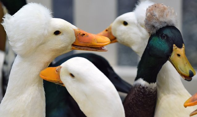 Bonnet ducks are pictured at the Haus-Garten-Freizeit (Home – Garden – Leisure) fair in Leipzig, eastern Germany, on February 7, 2015. Around 870 exhibitors from 19 countries take part in the consumer fair running from February 7 to 15, 2015. (Photo by Hendrik Schmidt/AFP Photo/DPA)